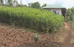 Đắk Nông nhân rộng mô hình trồng dâu nuôi tằm