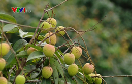 Bắc Giang: Không vội trồng thêm vải sớm ở diện tích chưa qua khảo nghiệm