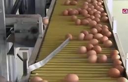 Hàn Quốc: Trứng quý hơn… vàng do cúm gia cầm