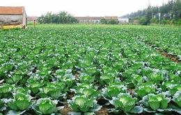 Quy trình trồng bắp cải và cải thảo sạch khác gì với trồng thông thường?