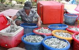Ngư dân Quảng Ngãi bội thu phiên biển cuối năm