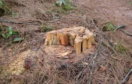 Lâm Đồng: Bắt nhiều đối tượng trong băng nhóm phá rừng