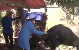 Nghệ An khống chế dịch tụ huyết trùng trên đàn trâu, bò
