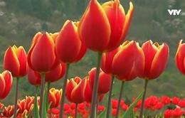 Thăm vườn hoa tulip lớn nhất châu Á