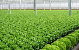Nhật Bản triển khai dự án trồng rau hữu cơ tại miền Trung