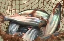 Cung không đủ cầu, giá cá tra tăng vọt