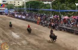 Độc đáo lễ hội đua trâu tại Thái Lan