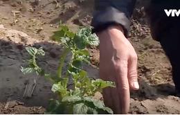 Thực hư thông tin giống khoai tây tỉnh Thái Bình phát triển kém