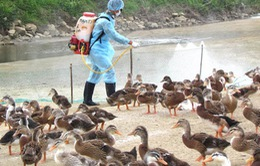 Phú Yên: Dịch bệnh trên vịt nuôi diễn biến phức tạp