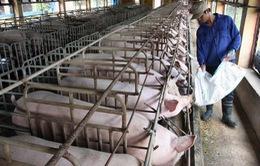 """Giá thịt lợn giảm sâu, người chăn nuôi """"còng lưng"""" trả nợ"""