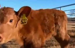 Thẻ đeo tai theo dõi vị trí và sức khỏe gia súc