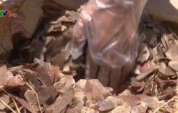 Hải Phòng: Bắt giữ hơn 700kg vảy tê tê khai là nụ hoa hồng