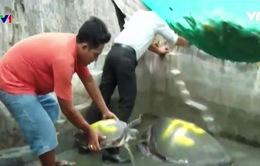 Thả 2 cá thể Vích biển về tự nhiên