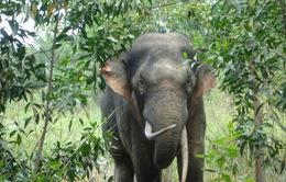 Việt Nam nỗ lực bảo tồn voi