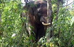 Quảng Nam phát hiện nhiều voi rừng trong khu vực dân cư