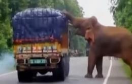 Ngỡ ngàng cảnh voi chặn xe tải giữa đường để lấy thức ăn