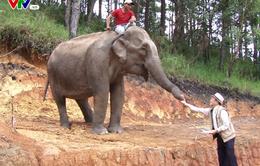 Doanh nghiệp tặng voi cho Trung tâm Bảo tồn voi Đắk Lắk