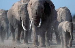 Voi châu Phi đang phải đối mặt với nguy cơ tuyệt chủng cao