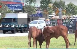 TP.HCM: Vòng xoay trở thành bãi đậu xe container, nơi chăn thả bò