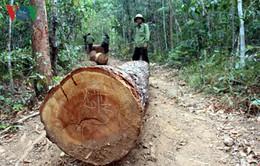 Khởi tố vụ án phá rừng và cướp gỗ táo tợn tại Gia Lai