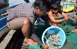 Giá cá linh đầu nguồn chỉ còn 15.000 - 20.000 đồng/kg