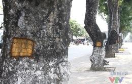 Vì sao những vết khoét vỏ cây xà cừ trên đường Láng có hình chữ nhật?