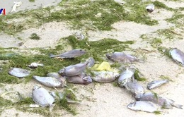 Khánh Hòa: Nhà máy đường xả thải, thủy hải sản chết hàng loạt