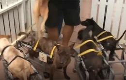 Đôi chân mới của những chú chó khuyết tật tại Đài Loan (Trung Quốc)