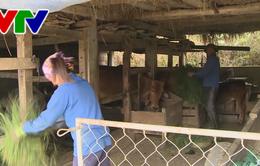Hà Tĩnh: Bảo vệ đàn gia súc trước thời tiết lạnh rét