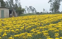 Vùng trồng hoa Quảng Bình bị ảnh hưởng do mưa rét