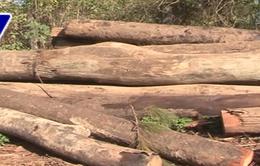 Lâm Đồng: Bắt nhóm chở gỗ lậu trái phép sau nhiều ngày mật phục