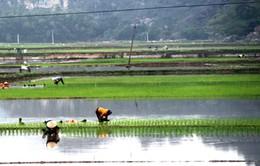 Nông dân Hà Tĩnh có nguy cơ mất mùa do thiếu giống sản xuất vụ Đông Xuân