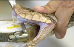 Phương pháp mới xác định loại nọc rắn qua xét nghiệm máu