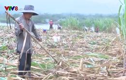 Nhiều trắc trở ở vùng nguyên liệu mía lớn nhất Nam Trung Bộ