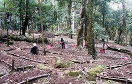 Kon Tum cho thuê rừng kết hợp trồng sâm Ngọc Linh