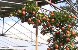 Thu nhập lớn nhờ mai trắng và quất bonsai