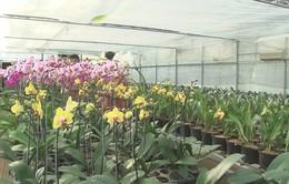Nông dân Thừa Thiên - Huế tất bật chuẩn bị hoa Tết