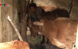 Lào Cai tích cực phòng chống rét cho đàn gia súc