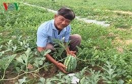 Thời tiết bất lợi, nông dân Bà Rịa - Vũng Tàu lo thất thu dưa hấu Tết