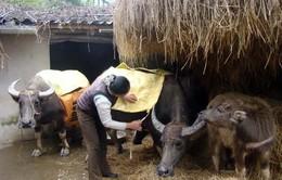 Gần 1.000 con gia súc chết rét trong tháng 1