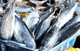 Ngư dân Phú Yên được mùa cá ngừ đại dương