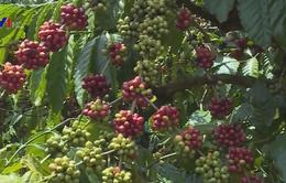 Giá cà phê Arabica hồi phục