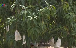 Mưa trái mùa gần Tết khiến nông dân ĐBSCL lo lắng