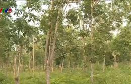 Quảng Bình: Hàng nghìn hecta cao su bị bỏ hoang