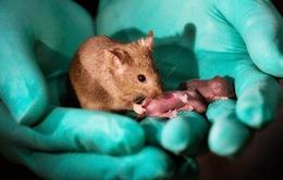 Trung Quốc: Tạo chuột con từ 2 chuột mẹ