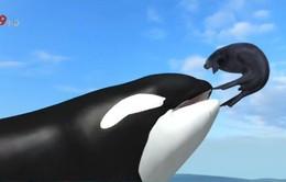 Hóa chất độc hại đe dọa cá voi sát thủ