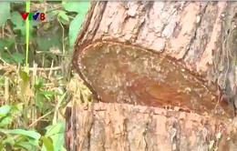 Rừng thông Quảng Sơn, Đắk nông tiếp tục bị tàn phá
