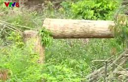 Rừng Tà Cú, Bình Thuận vẫn chảy máu