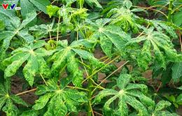 Ngộ độc sắn - Độc tố tự nhiên gây tử vong cao