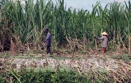 Gỡ khó cho ngành mía đường: Bắt đầu từ vùng nguyên liệu